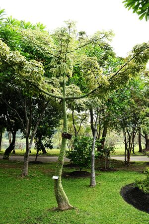 trees with thorns: A young kapok tree which its trunk is crowded with large simple thorns. This picture was taken from Queen Sirikit s public park, Bangkok , Thailand.