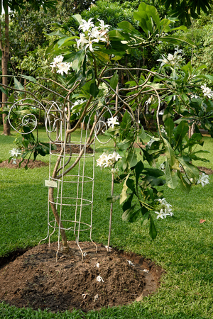 The inflorescences of 9 - 15 white flowers in buds and blooms. This pictur was taken from Queen Sirikit s public park , Bangkok , Thailand.