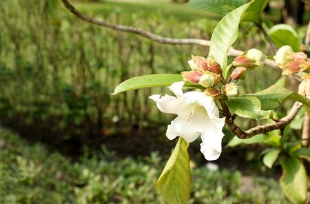 subtropical: The evergreen climber that grow well in subtropical and has trumpet - liked white flowers.