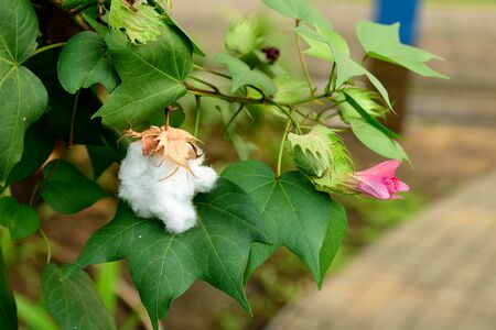 bolls: Cotton flowers and leaves with white fluffy fibers of cracked bolls. Stock Photo