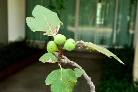 nodal: The matured fig fruits with green and  tough peels and often cracked upon ripeness.