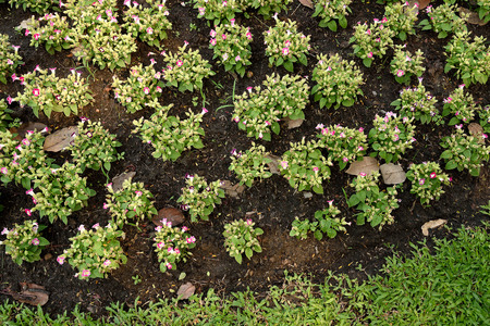bushy: The small bushy plants with blue , white , or pink flowers that have yellow markings.