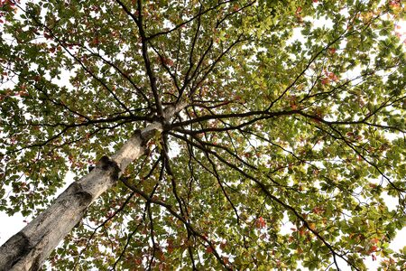 leathery: The deciduous , fast growing tree with dark green leaves when it is young and will go from dark red to yellow before shedding.