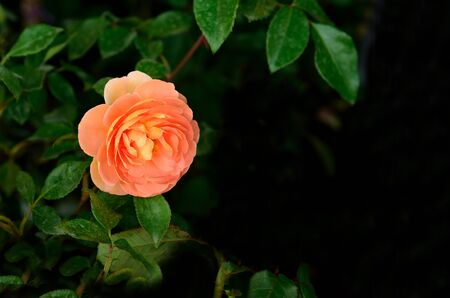 orange rose: Orange rose is brilliant color and has  meanings  of fascination and pride. Stock Photo