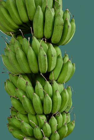 seedless: The edible  seedless banana which is the important fruit  in tropical region.