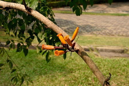 tree jasmine: The striking orange - colored flowers of tree jasmine that grow straight from the trunk.