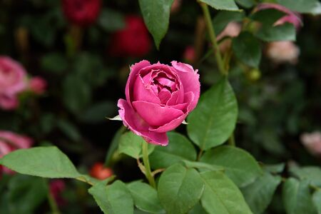 fascination: Pink rose is the symbols of happiness , elegance , sweetness and admiration.