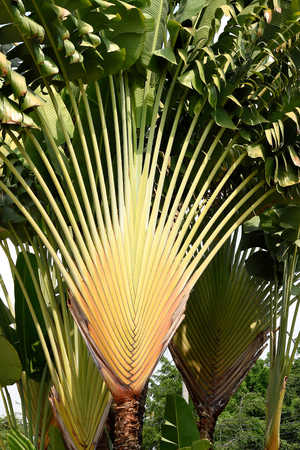 fan shaped: The paddle - shaped leaves of a  traveller s palm usually line in east - west plane . Stock Photo
