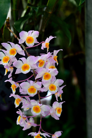 crystalline: Dendrobium amabile , a species from Vietnam , has fragrant flowers and crystalline in texture.