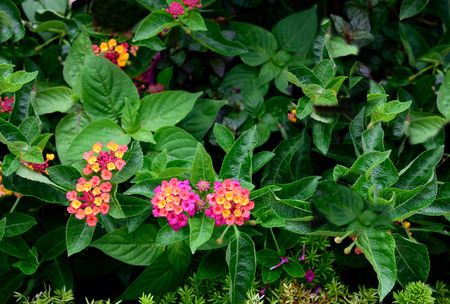 toxicity: Clusters of lantana camara flowers with each flower has four petals and has tubular shape. Stock Photo