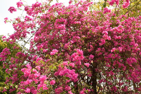 ramification: Pink to purple large flowers of Tabebuia trees at Kasetsart University ,Kanpangsaen , Thailand.