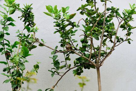 passerine: A sparrow , a small passerine bird , perchs on a lemon -  tree branch. Stock Photo