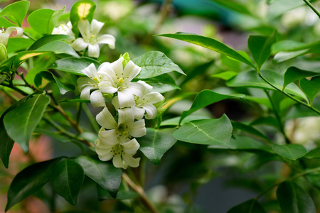 fragrant: The tropical , evergreen tree with dense and fragrant white flowers. Stock Photo
