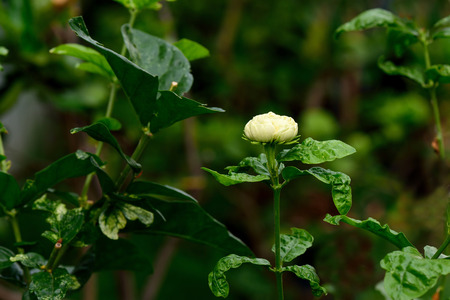 tropical shrub: A specy of jasmine shrub with white and yellow fragrant flowers. Stock Photo