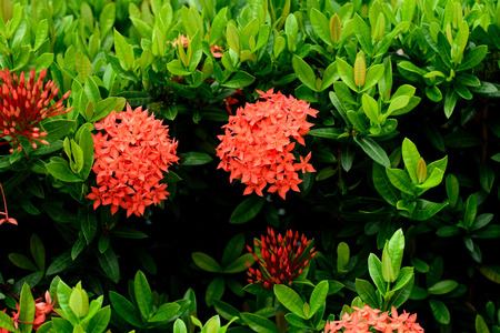 tropical shrub: Small tubular , scarlet flowers in dense rounded clusters .