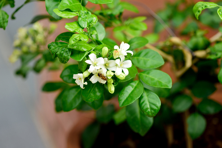 The tropical evergreen tree with dense and fragrant white flowers the tropical evergreen tree with dense and fragrant white flowers stock photo picture and royalty free image image 62261379 mightylinksfo
