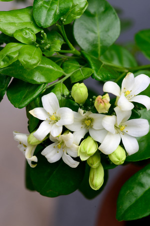 tropical shrub: The tropical , evergreen tree with dense and fragrant white flowers. Stock Photo