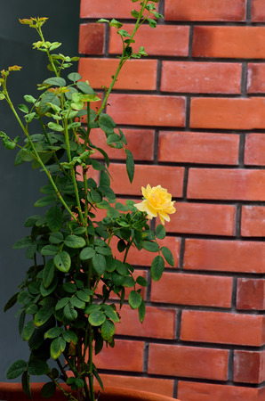 A yellow rose stand against red bricks and its color denotes happiness and sunshine.