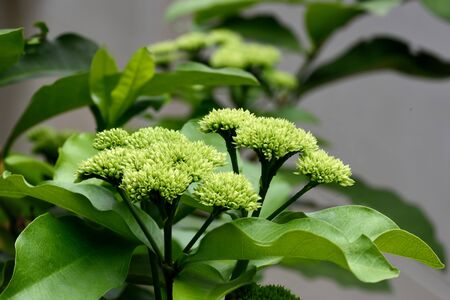 greem: Clusters of Ixora finlaysoniana in greem color of budding stage.