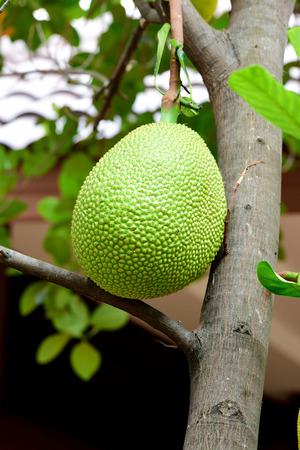 kilograms: A young green jackfruit is hanging from the tree trunk.The full grown fruit can reach 35 kilograms in weight and 90 centimeters in length. Stock Photo
