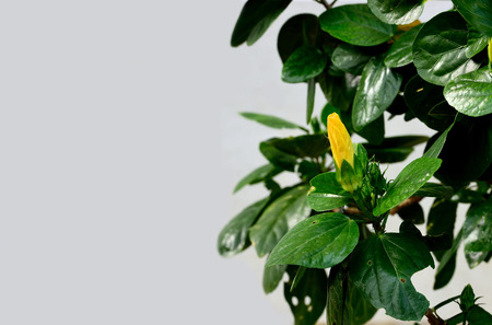 tropical shrub: The yellow flower of hibiscus in budding stage. Stock Photo