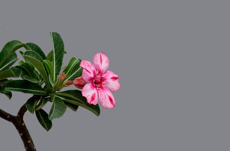 desert rose: A colorful adenium  flower of a desert rose plant.