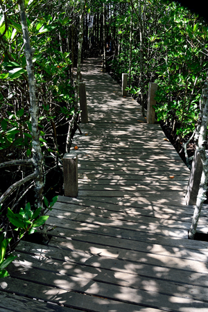 A wooden path passes through fertile  mangrove forest in Paknam Prasae estuary , Rayong  Province , Thailand.