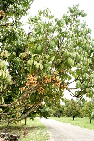 lanzones: Lanzone tree with clusters of sweet and sour  fruits .
