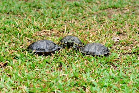 Three turtles have a meeting on a grass field.