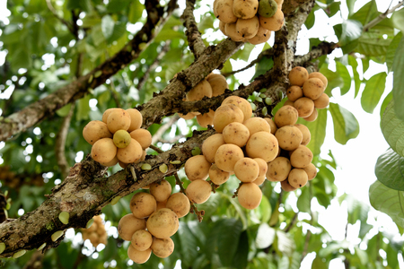 Lanzone tree with clusters of sweet and sour  fruits . The fruits have a round , big shape and pale yellow skin.