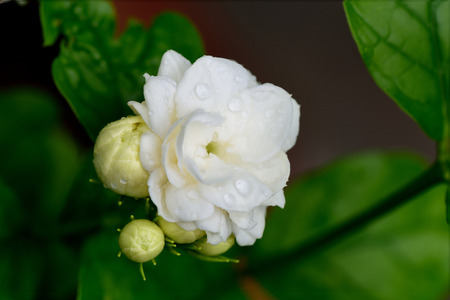 tropical shrub: Jasmine flowers in bloom and bud are used as a symbol of love and respect to mother in Mothers Day .