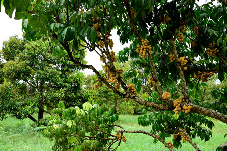 lanzones: Lanzone tree with clusters of sweet and sour  fruits . The fruits have a round , big shape and pale yellow skin.