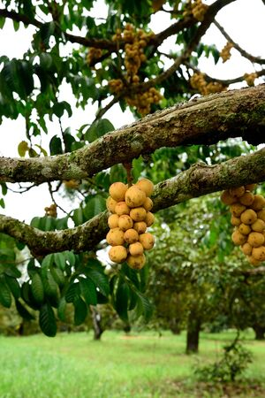 Lanzone tree with clusters of sweet and sour  fruits .