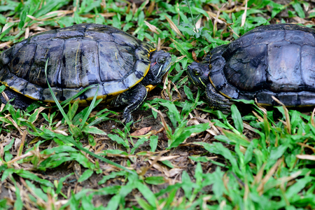 Two turtles encounter and each has a neck retraction. Stock Photo