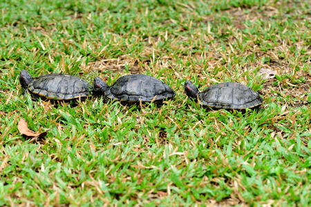 Three turtles walk together in line on a grass field.