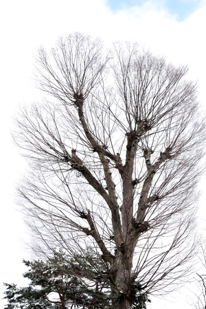 leafless: The tree stood upright with leafless branches in winter season.