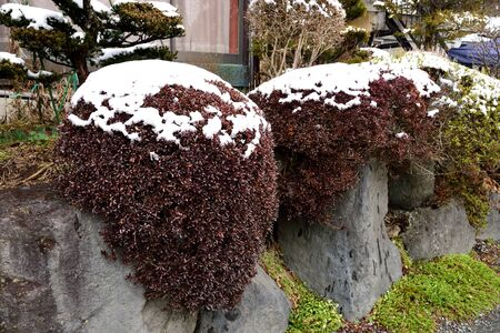 atop: Snow plates lied atop of leafy plants in Japanese - styled garden.