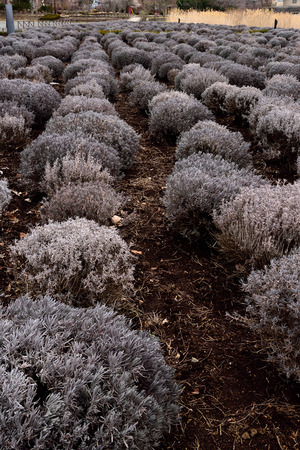 shrubs: Rows of young lavender shrubs in a Japanese garden. Stock Photo