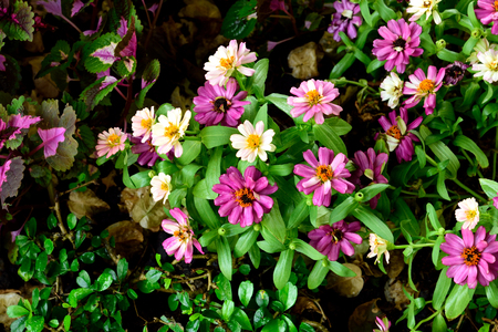 ova: Zinnias have sessile ova - l shaped  leaves  and dome - shaped flowers.