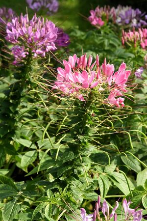 The ornamental plant with purple , pink flowers with four petals and six long stamens.