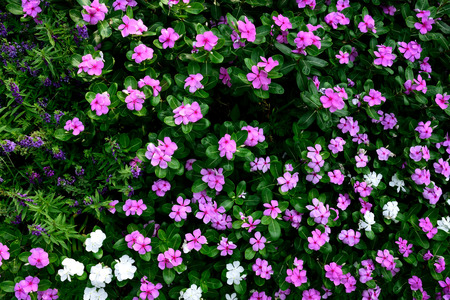 lobes: The pink flowers with five petal - like lobes  and with  darker red centres .