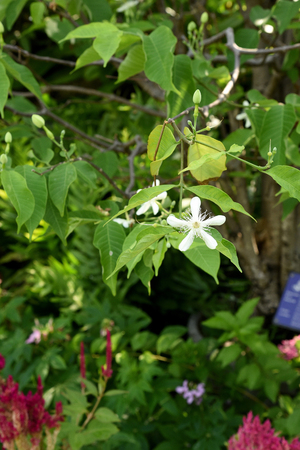 ornamental plant: Wrightia sirikitiae , the ornamental plant with jasmine - liked white flowers .
