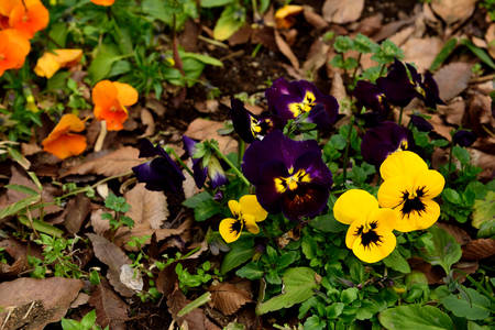 displays: The pansy flower  displays  the two upper overlapping petals , the two side petals and the single bottom petal.