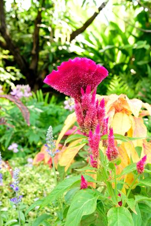 liked: The flame - liked flower heads of celosia .