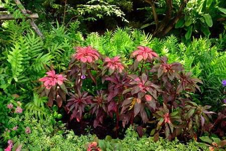 tropical shrub: The ornamental plant with its colorful leaves in bright , stable tricolor blends of red , yellow , and green. Stock Photo