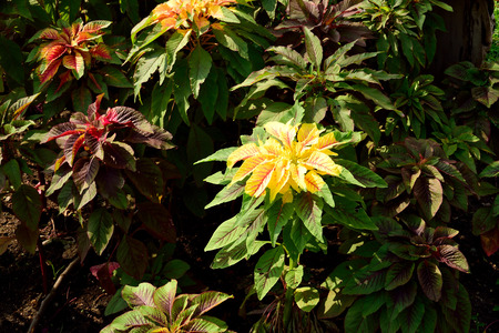 blends: The ornamental plant with its colorful leaves in bright , stable tricolor blends of red , yellow , and green. Stock Photo