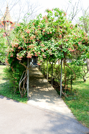 archway: The archway is decorated with Rangoon creeper as an  ornamental plant and flowers. Stock Photo