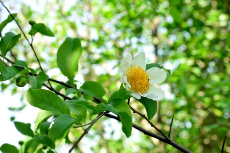 centres: The white blossoms with yellow centres due to stamens.