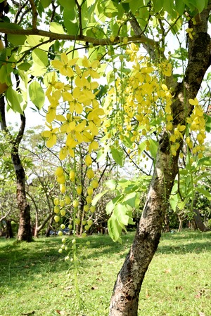 odor: The pendulous racemes of Cassia flowers with yellow petas and pungent odor.