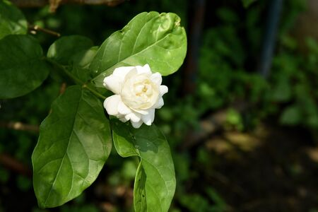 flowered: The double - flowered cultivar of Jasmine with strong and sweet scent.